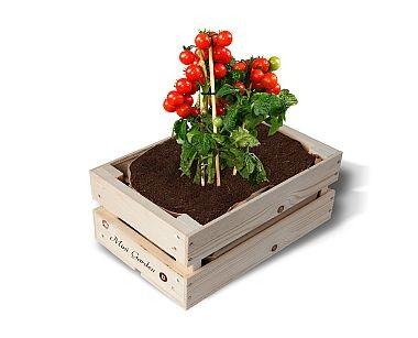 "Minigarten Kisten ""Bio-Tomate Cerise"""
