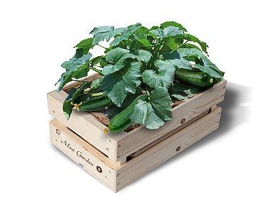 "Minigarten Kisten ""Bio-Zucchini"""